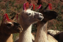 Attention-seeking llamas
