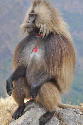 Gelada monkeys